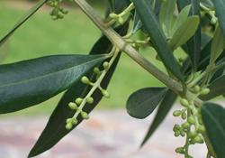 © Viquipèdia http://ca.wikipedia.org/wiki/Olivera#/media/File:Olivo-fiore.jpg