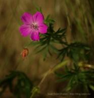 Geranium (muskátli-rokon), természetfotók a Pilisből