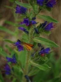 Természetfotók - lepke, virág, Pilis