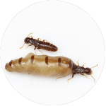 King and Queen Termite