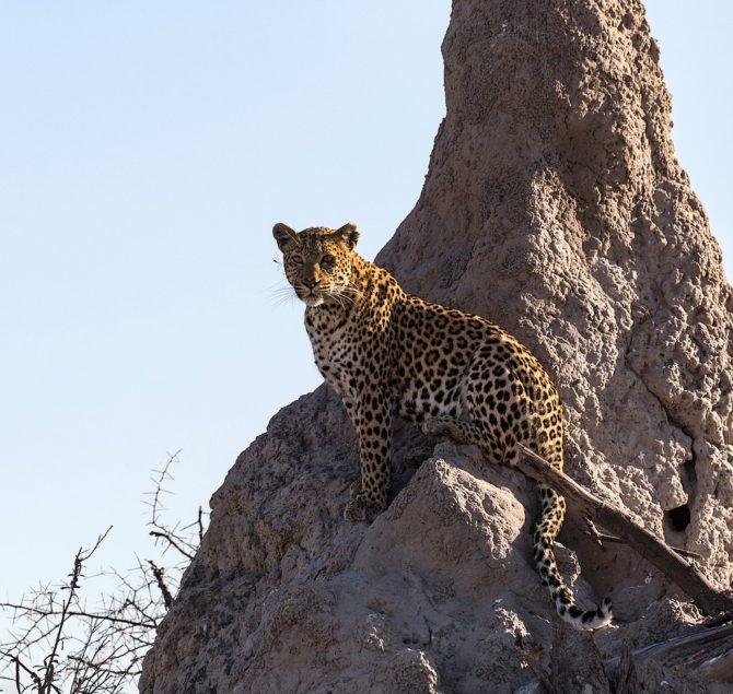 Cheeta on Mound