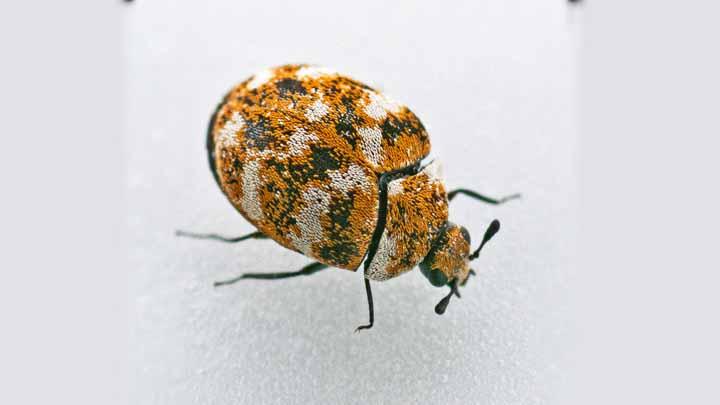 Carpet Beetle Dermais Treatment Carpet Vidalondon
