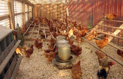 Beternak Ayam Petelur