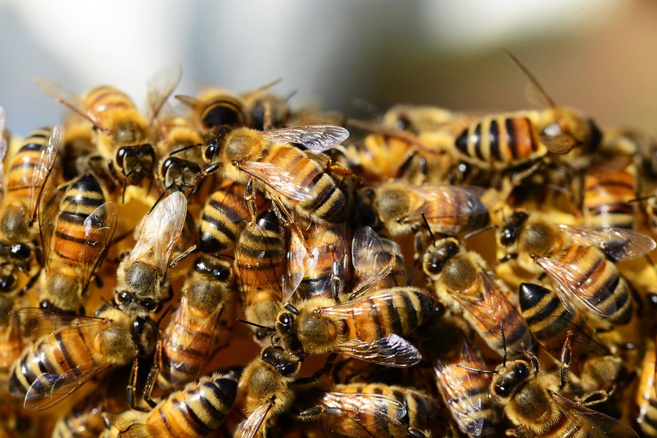 Memeriksa Koloni lebah madu