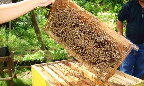 Migrasi lebah madu