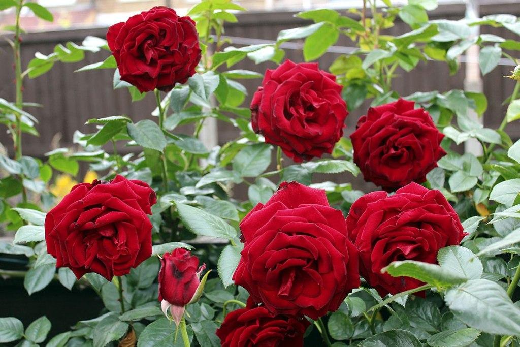 budidaya mawar