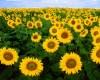 foto di bunga matahari