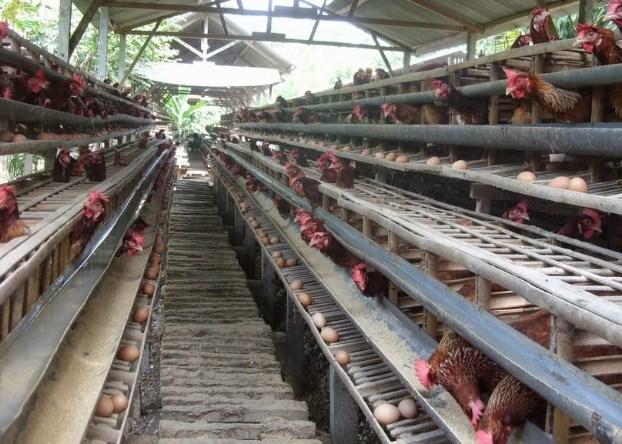 Contoh Proposal Usaha Ternak Ayam Petelur - mosi