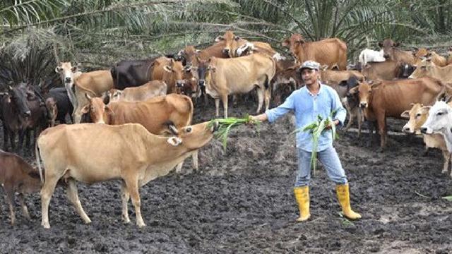 Ternak kambing Vs Ternak Sapi