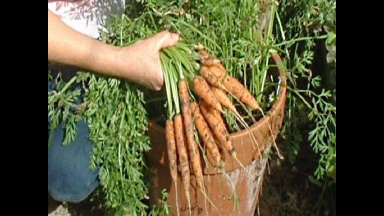 Wortel di dalam pot