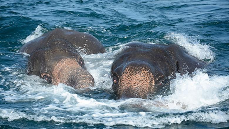 Video, Militer Sri Lanka Selamatkan Dua Ekor Gajah Yang Hanyut Di Laut