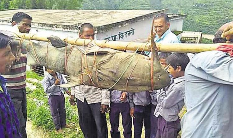 Warga India Tangkap Ikan Lele Langka Seberat 125 Kilogram