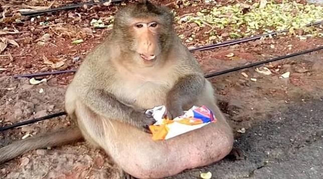 Wow Monyet Terkenal Karena Obesitas Ini Sukses Diet