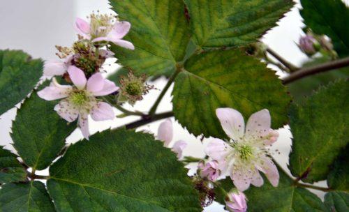 fleur de mûrier