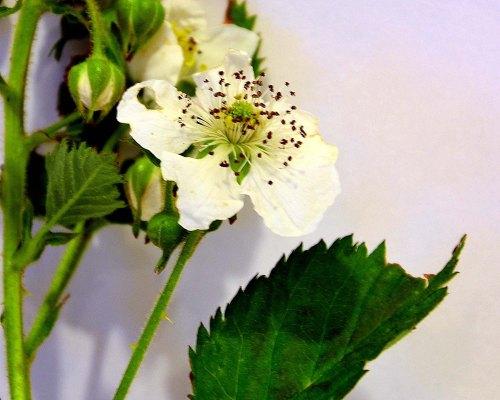 fleur blanche de murier