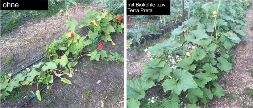 Vergleich Terra Preta und Biokohle bei Kürbis