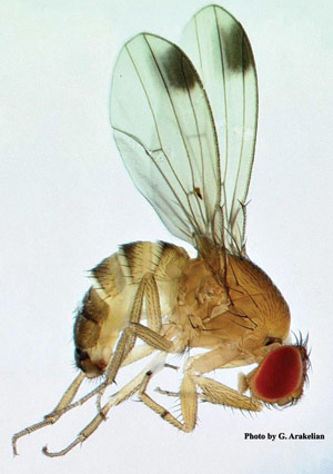 Tiny fruit fly gives a giant headache to Oregon's berry and tree fruit growers.