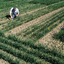 Wheat research plots (Photo: Lynn Ketchum, Oregon State Extension and Experiment Station Communications)
