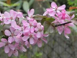 Zierapfel / apple tree
