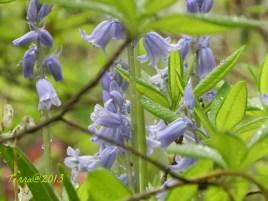 Glockenblume / blue bell