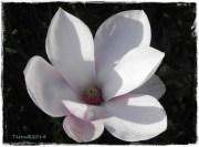magnolie-2.4.-6