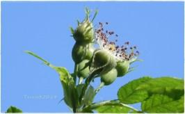 Wilde Rosen ... / Wild roses ...