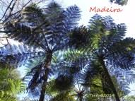 australischer Baumfarn - Monte Palace Park - Australian tree fern