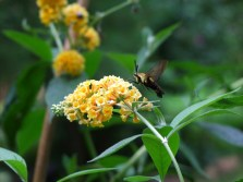 hummingbird moth on yellow butterfly bush