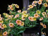 Terracotta crazytunia