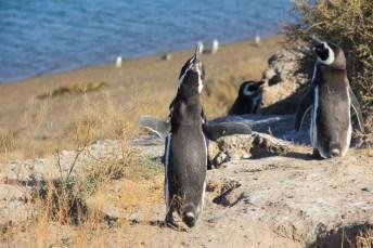 Os Pinguins de Magalhães, para proteger o território ou encontrar sua parceira, emitem o som parecido com o de um burro