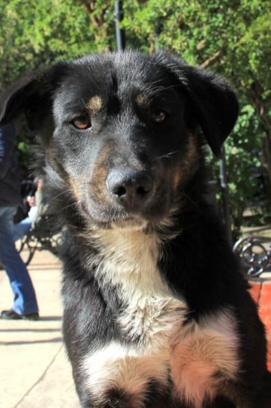 Os cães chilenos são mais amigáveis e menos medrosos que os vira-latas brasileiros