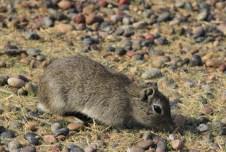 O roedor Cuis Chico é bem presente na região
