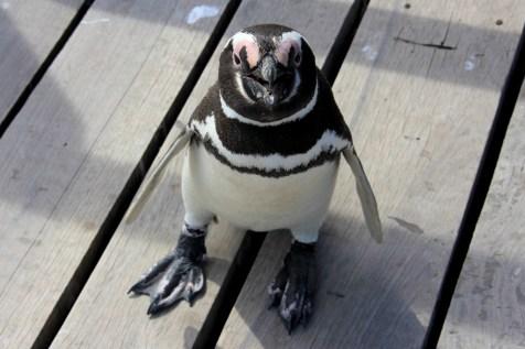 O primeiro contato, Pinguim de Magalhães, Punta Tombo