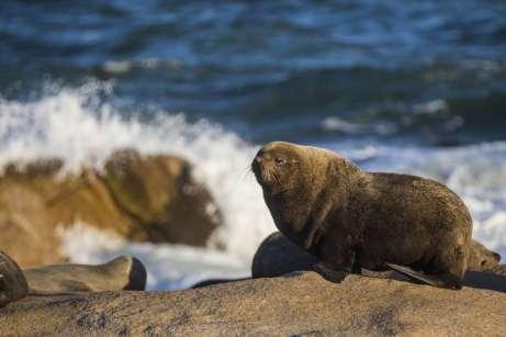 Lobo-marinho em Cabo Polônio, Uruguai