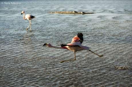 Os belíssimos Flamingos-andinos