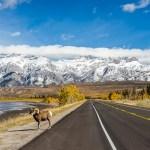FineArt Bighorn