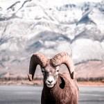FineArt Cabra da Montanha