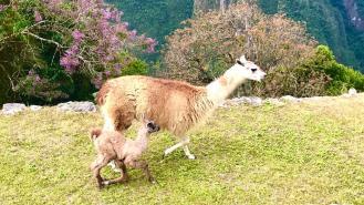 Fauna locale al Machu Picchu