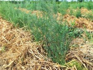 Gli asparagi Montina