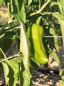 I peperoni ancora verdi