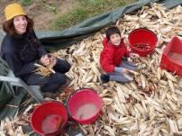 foglie-mais