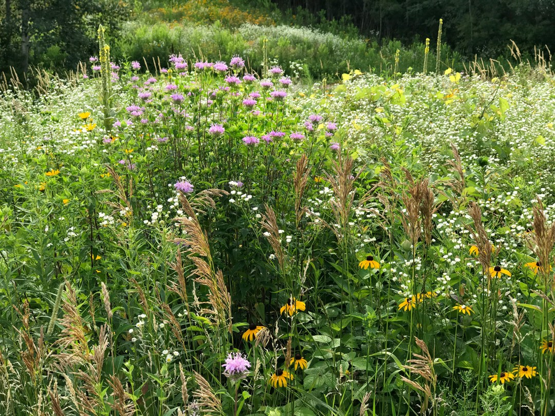 view of native prairie flowers and grasses found at Thomas Lake Native Prairie Preserve in Eagan, Minnesota