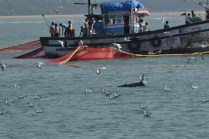 Dolphins in vicinity of purse-seine nets