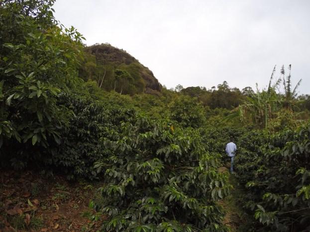 Plantação de Café, Abacate e Banana Orgânica