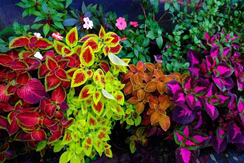 Varieties-of-Coleus-plants-terraqua