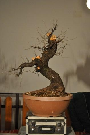 Samijeva Rešeljika.. Sami`s Prunus Mahaleb.. Il Malebbo di Sami
