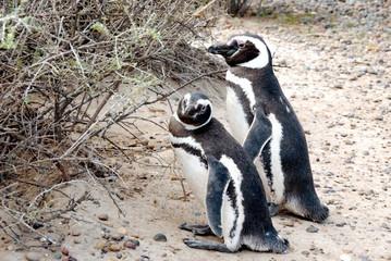 pinguini punta tombo