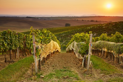 Rows of vineyard with protective nets. Toned at sunset