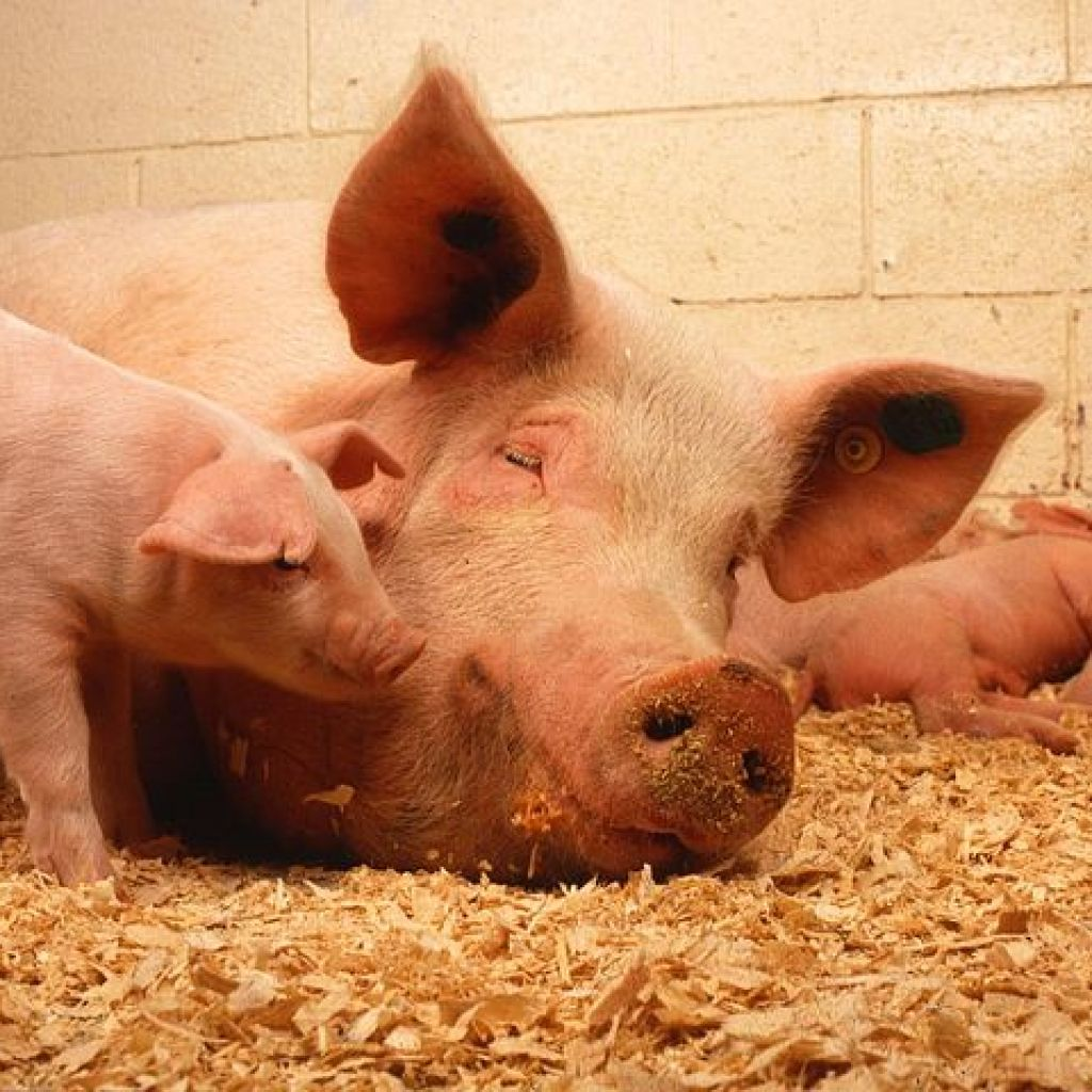 pigs benefit from effective swine farm fly control
