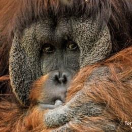 Adentrarnos en la selva de borneo para aprender sobre los orangutanes.